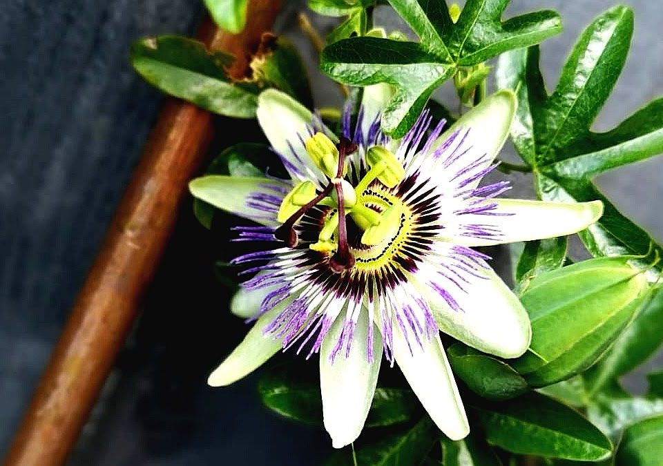 not just a tit lifestyle blog why death is a metaphor therapy session series passion flower garden hope