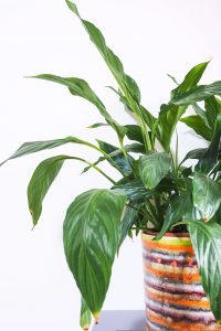 """""""peace lily in pot easy care houseplant notjustatit interiors blog"""""""