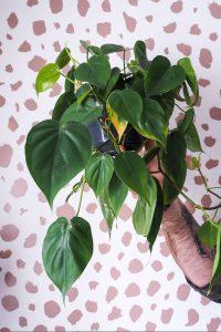 """philodendron against spotty background easy care houseplant notjustatit interiors blog"""