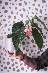 """""""begonia with pink flowers against spotty background easy care houseplant notjustatit interiors blog"""""""