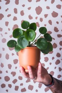 """chinese money plant pilia against spotty background easy care houseplant notjustatit interiors blog"""